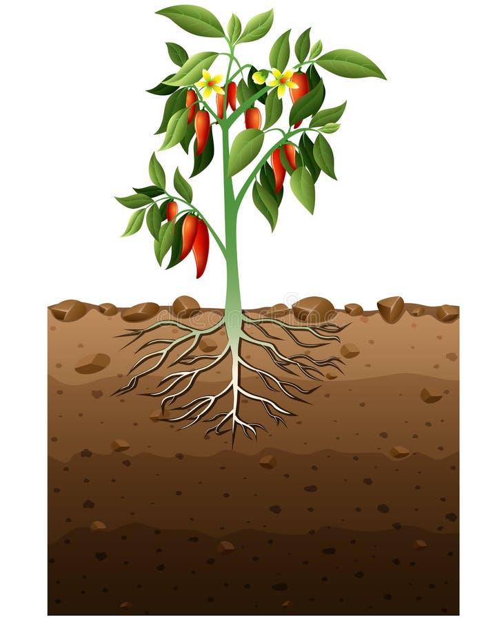 Den Cayenne växten med rotar den underjordiska illustrationen stock illustrationer