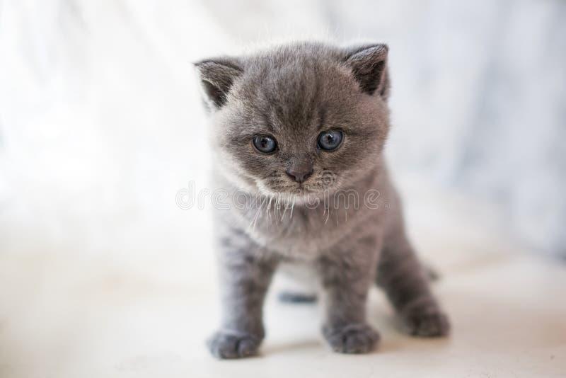 Den Cheshire katten att närma sig kattungen royaltyfri bild