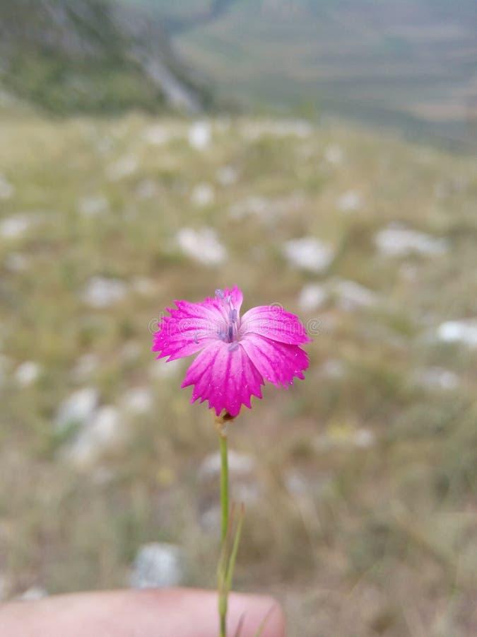 Den Chuquirahua blomman av Andesna stänger sig upp arkivbild