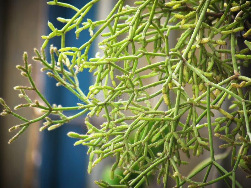 Den ClumbyMistletoekaktuns, rhipsalisen, Epiphytic växt, är hänga för dekorativ trädgård för populär växt fullvuxet arkivbilder