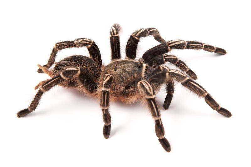Den Costarican sebrataranteln, också som är bekant som Göra randigknäet tarantelAphonopelma seemannien, denna spindel, bebor mest royaltyfri foto
