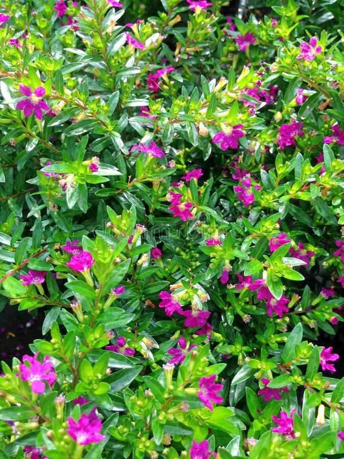 den Cuphea Hyssopifolia ljungväxten med purpurfärgade blommor arkivfoto