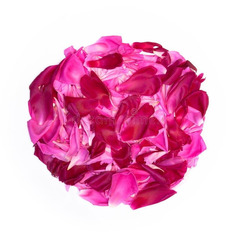 Den dekorativa beståndsdelen av rosa och rödbruna kronblad av pionen blommar royaltyfri foto