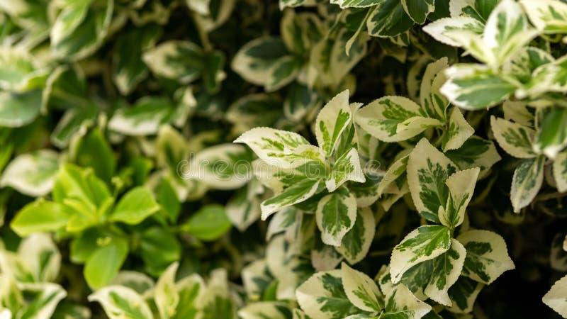 Den dekorativa WeigelaFlorida variegataen lämnar i sommarträdgård royaltyfria foton