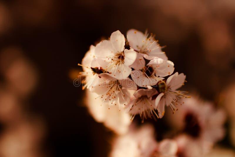Den delikata vita våren blommar på aprikons på en solig dag royaltyfria bilder