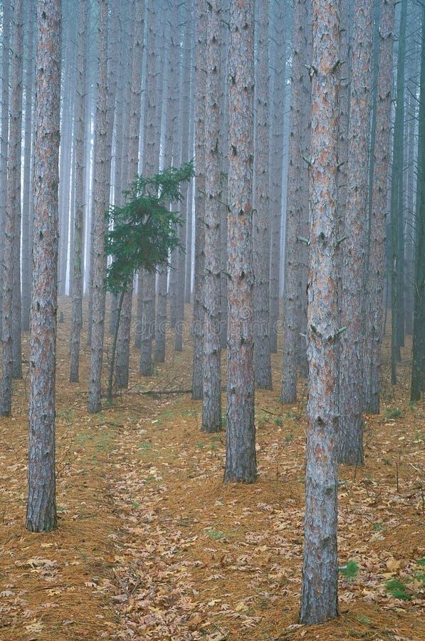 den dimmiga skogen sörjer royaltyfri fotografi