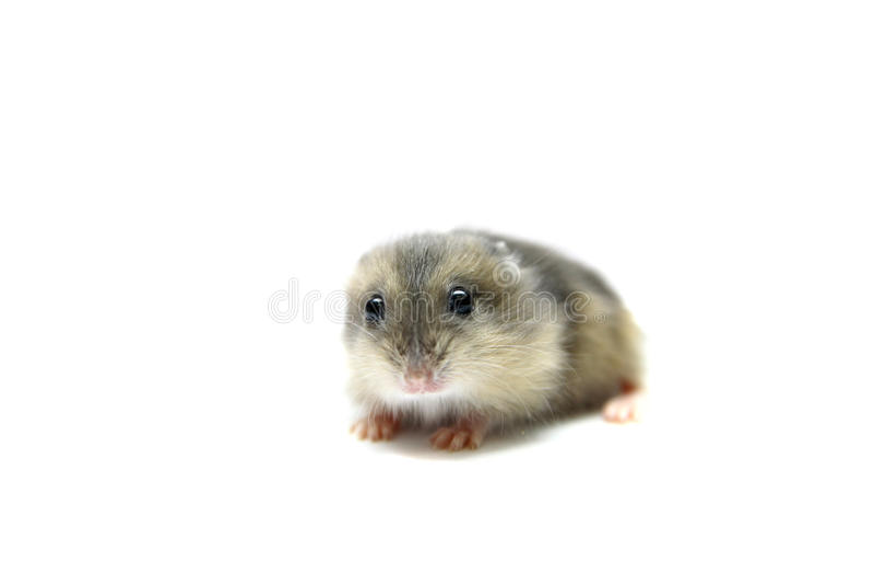 Den Djungarian hamsteren behandla som ett barn royaltyfria foton