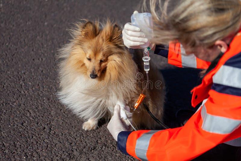 Den djura läkaren sätter förbinder på en hund royaltyfri fotografi