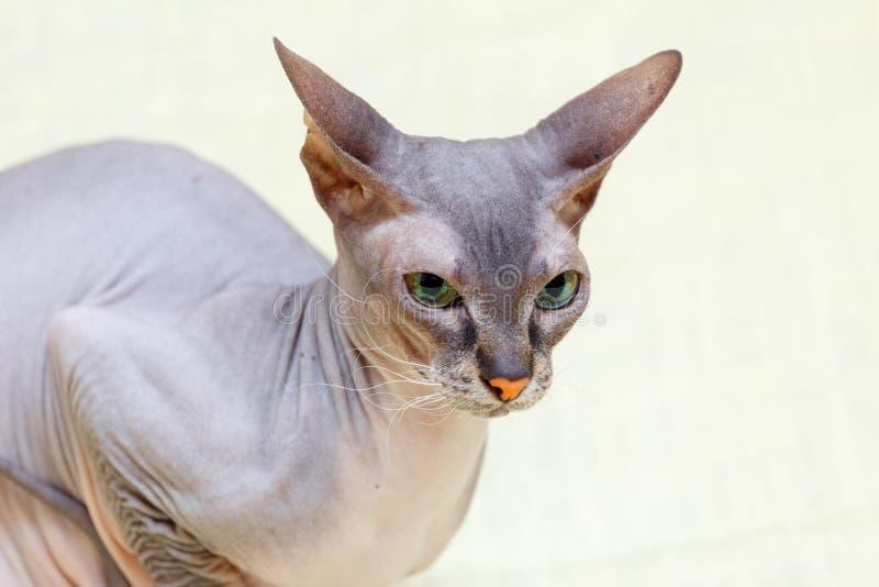 Den Donskoy Sphynx katten royaltyfri fotografi