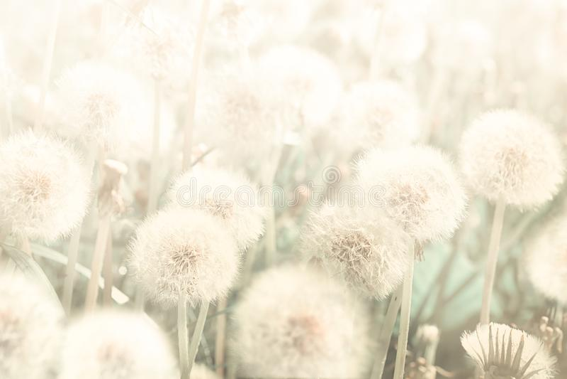 Den drömlika maskrosblowballen blommar mot solnedgång Pastellfärgat tonat guld- Makro med den mjuka fokusen Delikat genomskinligt royaltyfria bilder