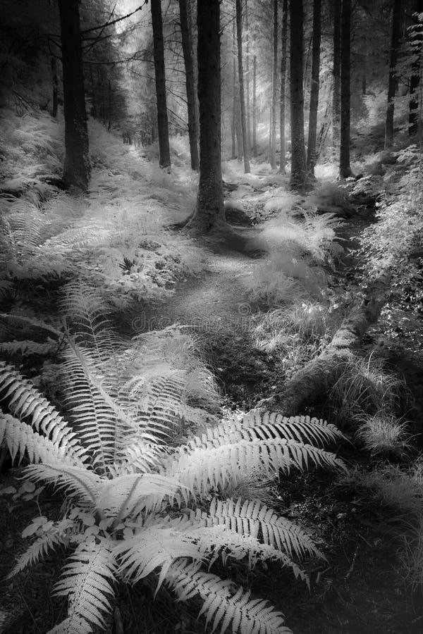 Den drömlika skogsmarken går sörjer igenom träd och ormbunkar, Cardinham trän, Cornwall fotografering för bildbyråer