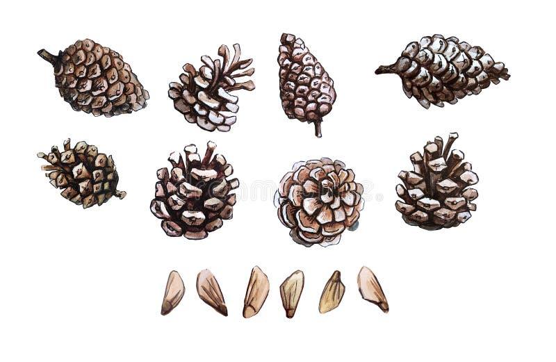 Den drog handen sörjer kotten och sörjer frö uppsättningen, gemkonst som isoleras, realistisk illustration för vattenfärg Skogsma vektor illustrationer
