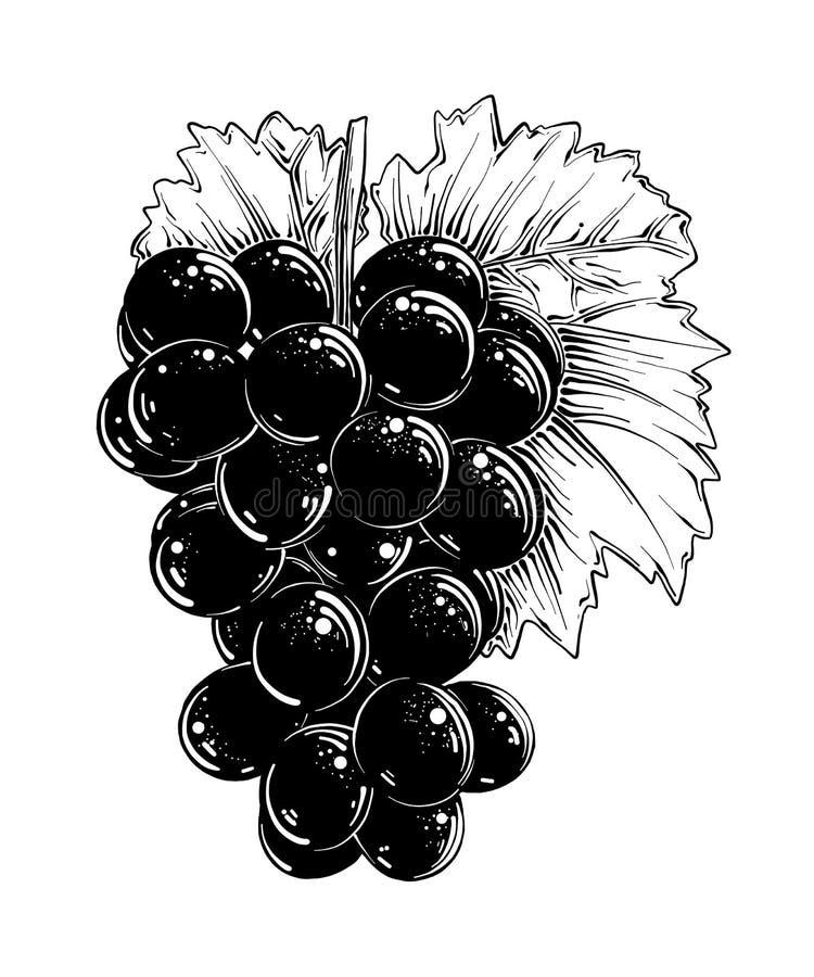 Den drog handen skissar av druvor i svart som isoleras på vit bakgrund Detaljerad tappningstilteckning, för affischer stock illustrationer