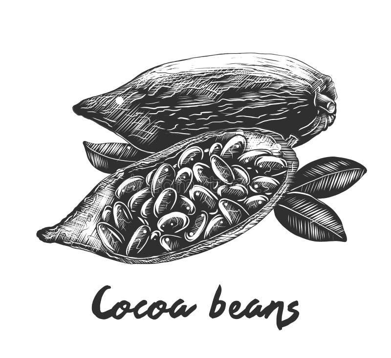Den drog handen skissar av kakaobönor i monokrom som isoleras på vit bakgrund Detaljerad teckning för tappningträsnittstil stock illustrationer