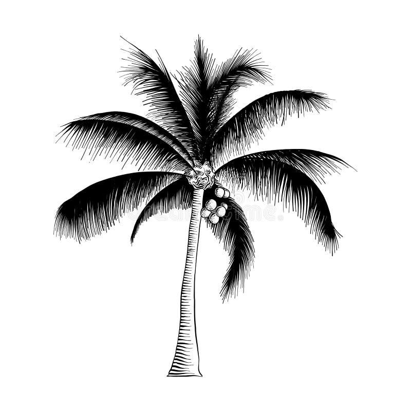 Den drog handen skissar av palmträdet i svart som isoleras på vit bakgrund Detaljerad teckning för tappningetsningstil vektor illustrationer