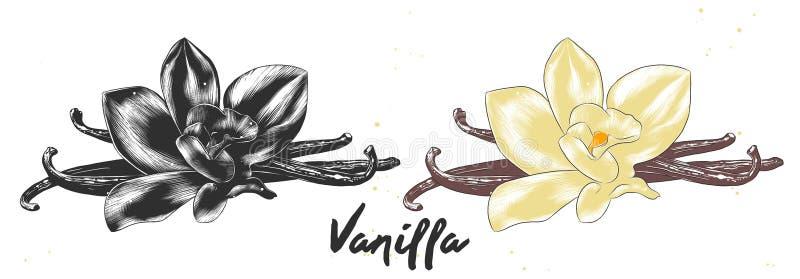 Den drog handen skissar av vaniljblomman i monokromt och färgrikt Detaljerad vegetarisk matteckning stock illustrationer