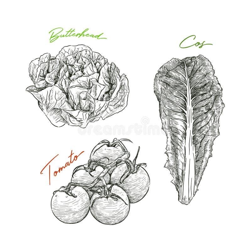 Den drog handen skissar stilgrönsakuppsättningen butterheadsallad, tomat stock illustrationer
