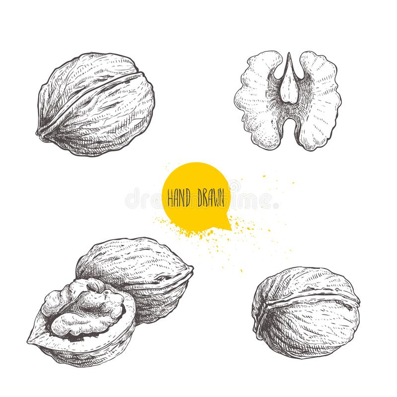 Den drog handen skissar stilvalnötuppsättningen Den enkla helheten, halvan och valnöten kärnar ur Illustration för Eco sund matve vektor illustrationer