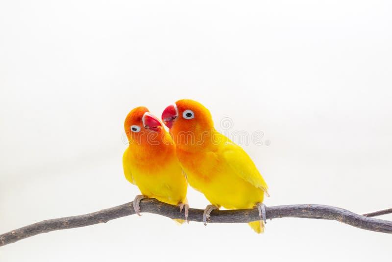 Den dubbla gula dvärgpapegojan på den vita backgroen fotografering för bildbyråer