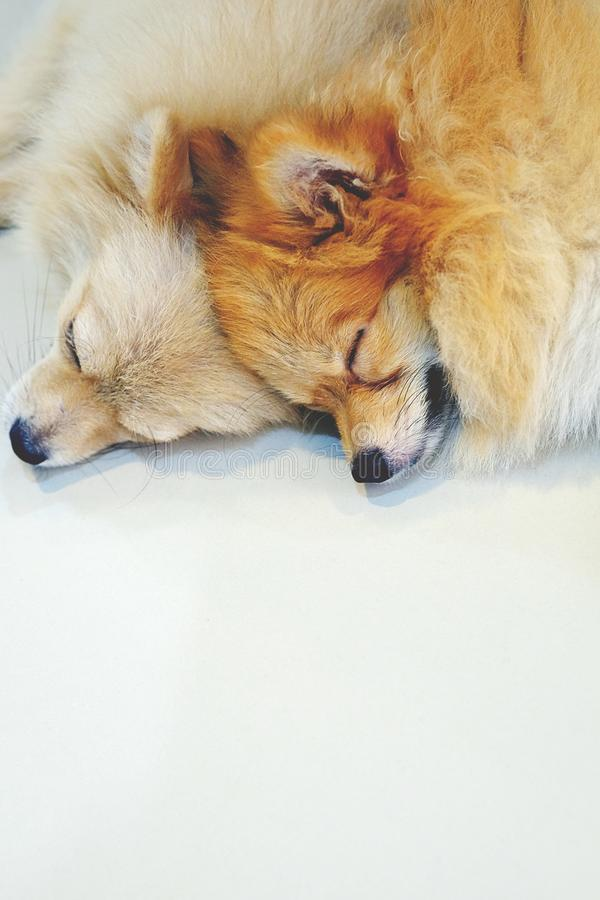 Den duettPomeranian hunden sover royaltyfria bilder
