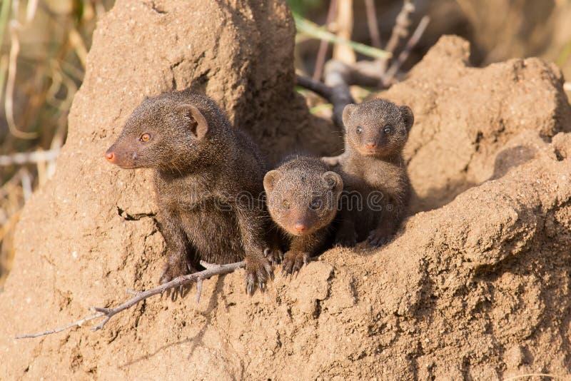 Den dvärg- mungorfamiljen tycker om säkerhet av deras håla arkivfoto