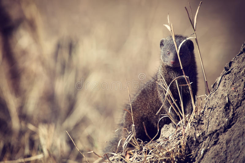 Den dvärg- mungorfamiljen tycker om säkerhet av deras håla fotografering för bildbyråer