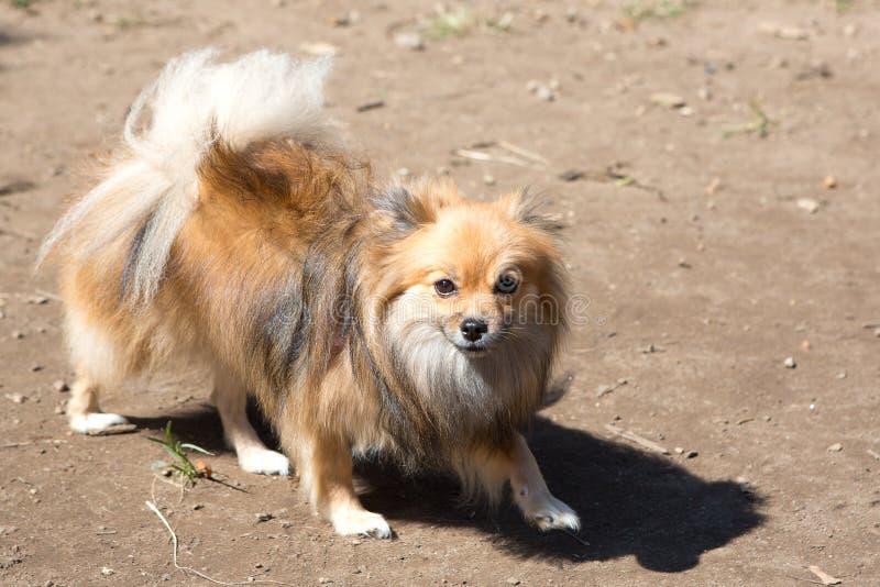 Den dvärg- tyska spitzen, också som är bekant som Pomeranian Lulu arkivfoton