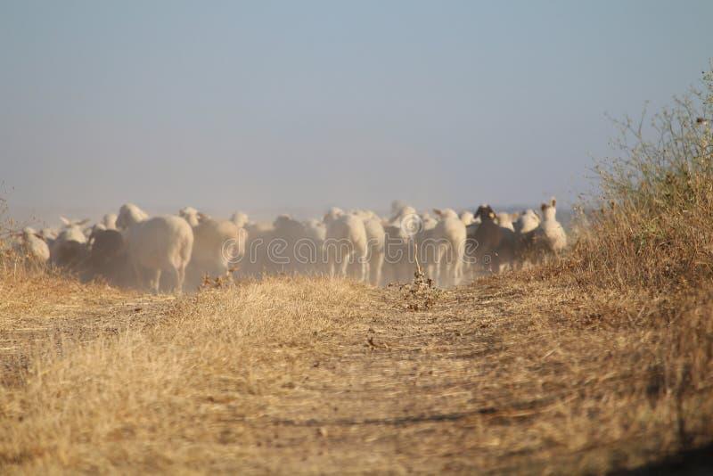Den dyrbara bilden av en flock av får som går för att nå destinationen royaltyfria foton