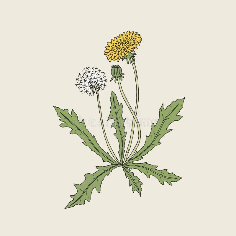 Den eleganta detaljerade teckningen av maskrosväxten med den gula blomman, kärnar ur huvudet och knoppen som växer på stammen och royaltyfri illustrationer