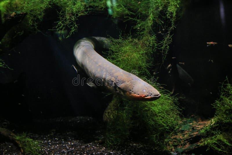 Den elektriska ålen simmade ut bakifrån algerna royaltyfria bilder