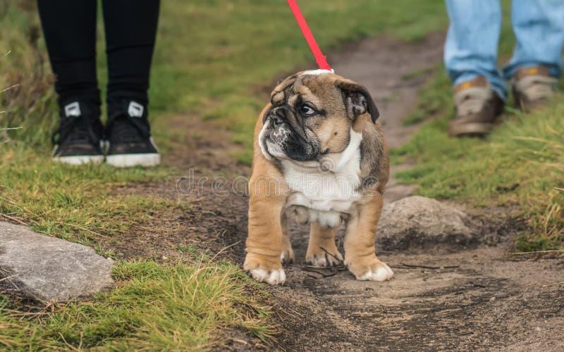 Den engelska bulldoggvalpen i röd krage promenerar banan fotografering för bildbyråer