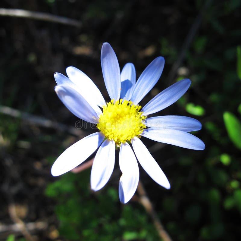 Den enkla blomman för den blåa tusenskönan tänder ljust vid solen royaltyfri fotografi