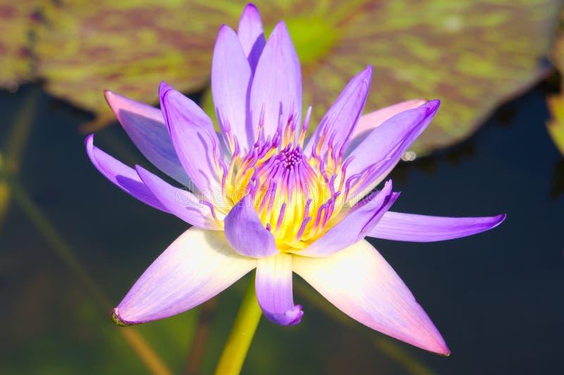 Den enkla härliga purpurfärgade lotusblommablomman, med den gula mitten, i ett älskvärt litet damm i ett thailändskt parkerar arkivbild