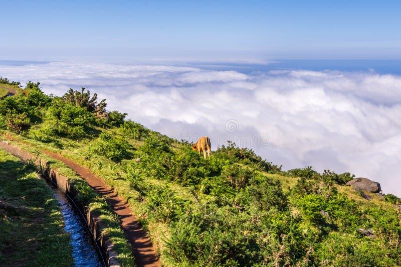 Den enkla kon betar längs en levada ovanför molnen, madeira royaltyfri bild