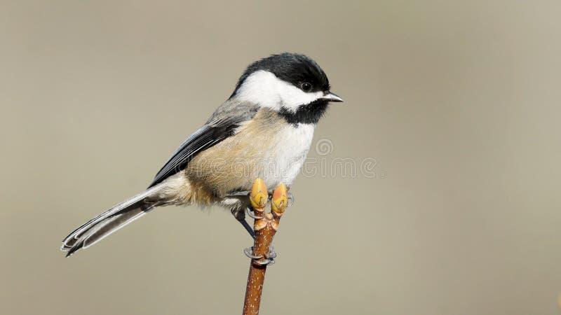 Den enkla lilla chickadeen sätta sig högt på en Treetop arkivfoto