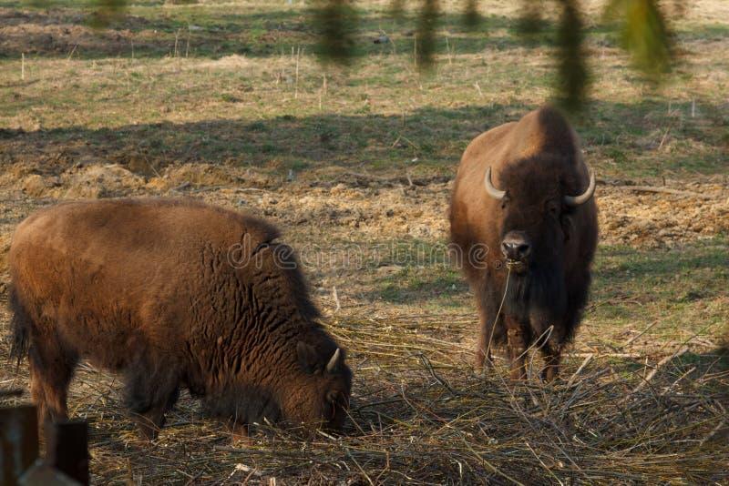 Den enorma bisonen g?r ?ver f?ltet och ?ter filialer och gr?s som fotograferas i den nordliga delen av Ryssland arkivfoto