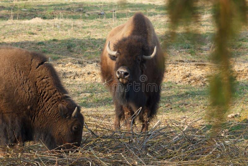 Den enorma bisonen g?r ?ver f?ltet och ?ter filialer och gr?s som fotograferas i den nordliga delen av Ryssland royaltyfri foto