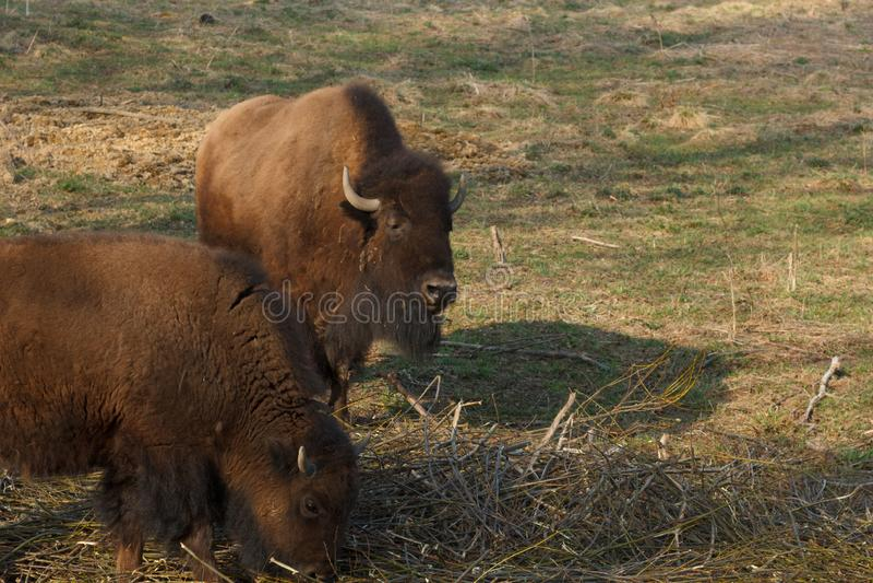 Den enorma bisonen g?r ?ver f?ltet och ?ter filialer och gr?s som fotograferas i den nordliga delen av Ryssland arkivfoton