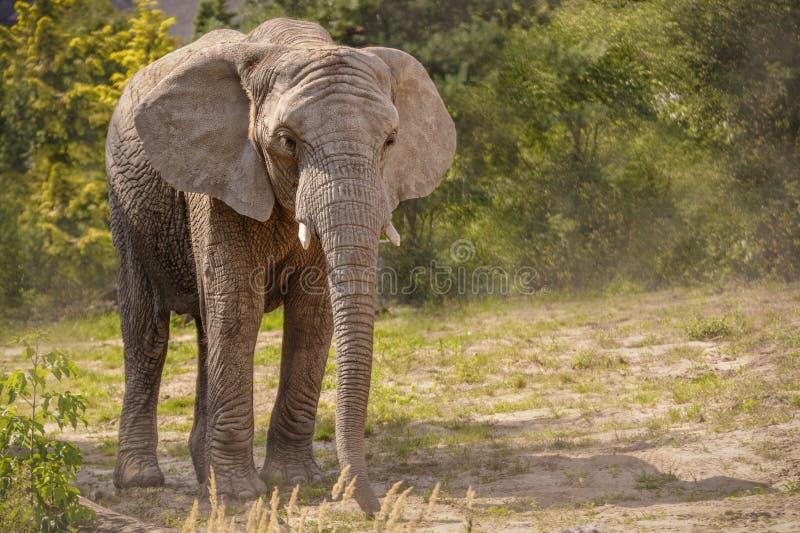 Den enorma elefanten går arkivbild