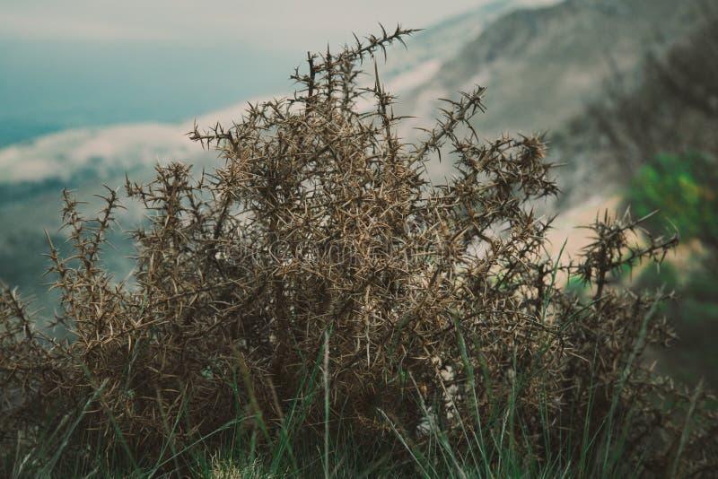 Den ensamma gamla taggbusken på backen royaltyfria bilder