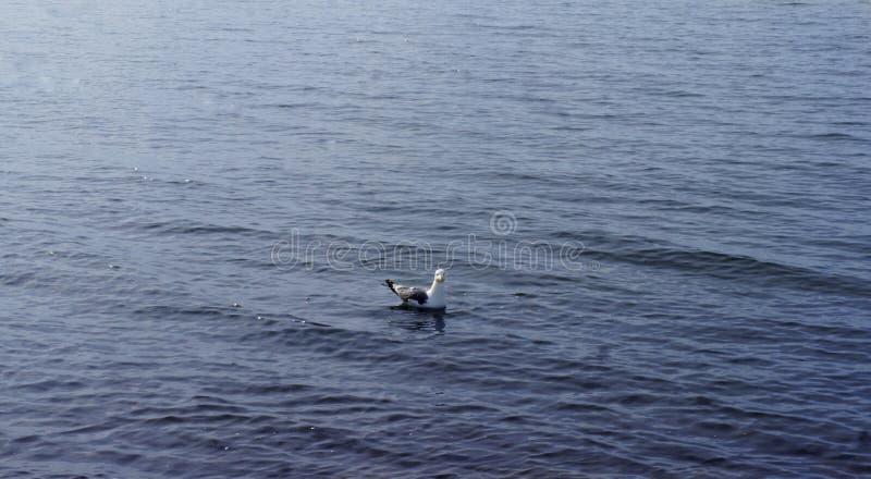 Den ensamma ilskna seagullen simmar i sommarvattnet royaltyfri foto