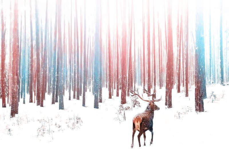 Den ensamma nobla hjortmannen i snöig vinterskogjul övervintrar bild i rosa färger, och blått färgar royaltyfria foton