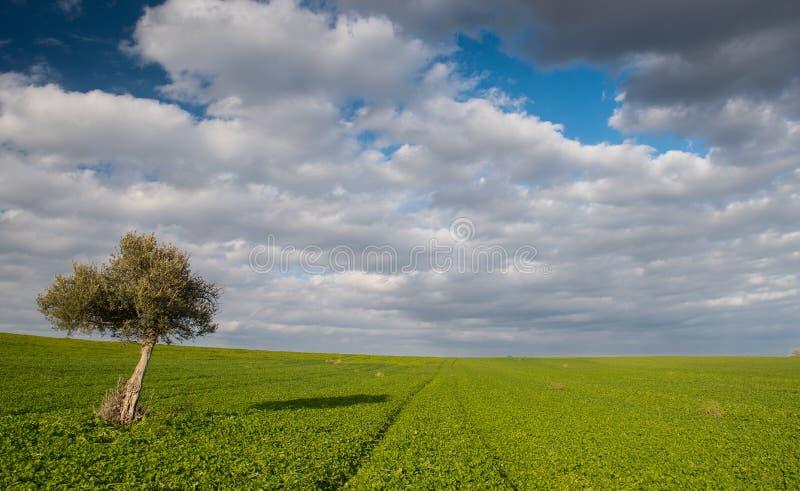 Den ensamma olivträdet i ett grön fält och flyttning fördunklar arkivfoton