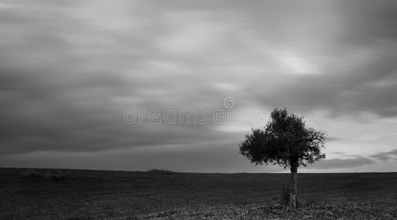 Den ensamma olivträdet i ett grön fält och flyttning fördunklar royaltyfri foto