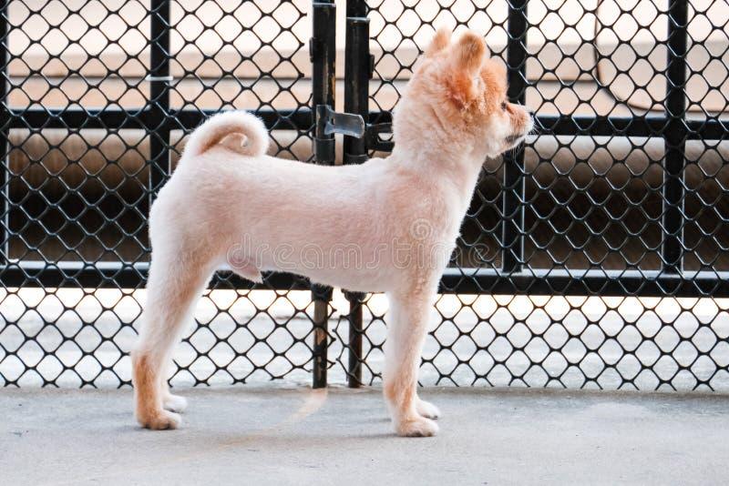 Den ensamma Pomeranian hunden väntar på någon att öppna dörren gullig valphund som sitter på ytterdörren som ser utanför att vänt arkivfoton