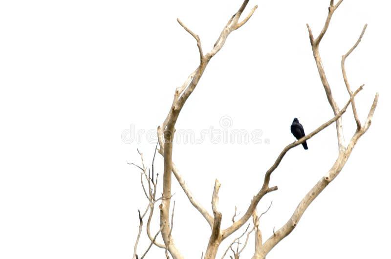 Den ensamma svarta djungelgalandefågeln sätta sig på ett torrt avlövat fattar isolerat på vit bakgrund royaltyfri fotografi