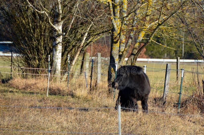 Den ensamma svarta håriga ponnyn betar på royaltyfri fotografi