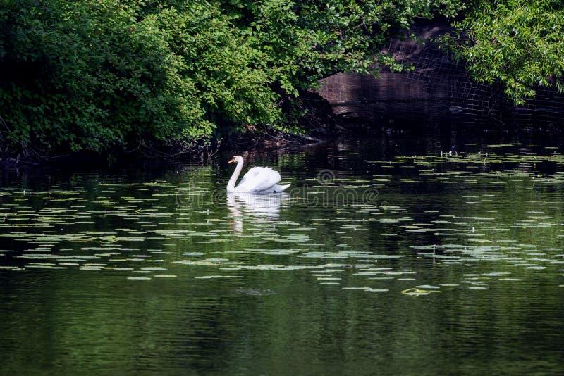 Den ensamma vita svanen simmar i ett damm arkivfoton