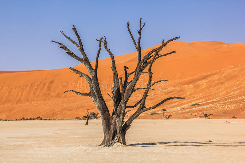 Den ensliga och berömda Deadvleien: torra träd i mitt av den Namib öknen royaltyfri foto