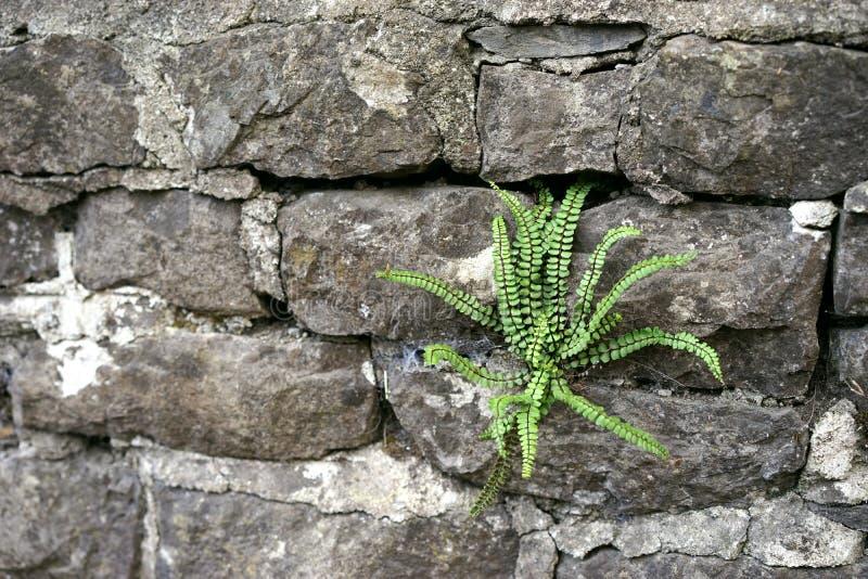 Den envisa ormbunken finner hemmet i forntida stenvägg royaltyfri bild